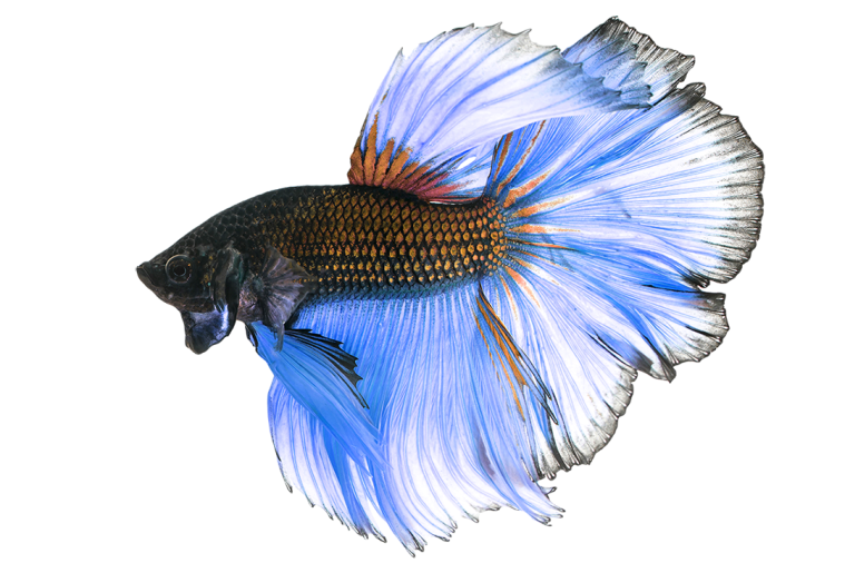 BETTAFISH01.png